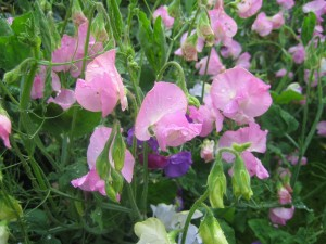 Sweetpeas always remind me of my Dad and Grandad.